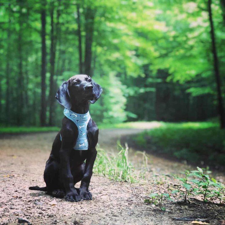 Appalachian Turkey Dog in the woods