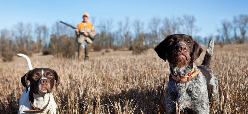 1 hunter at the back with 2 hunting dogs