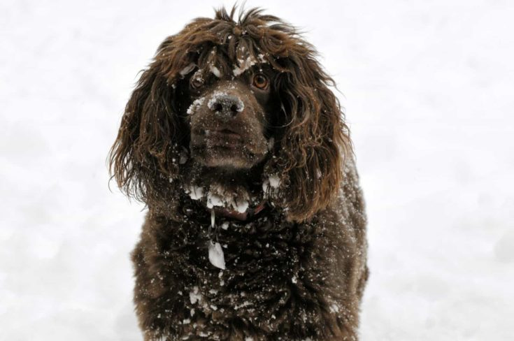 Boykin Spaniel wanting you to play on the snow
