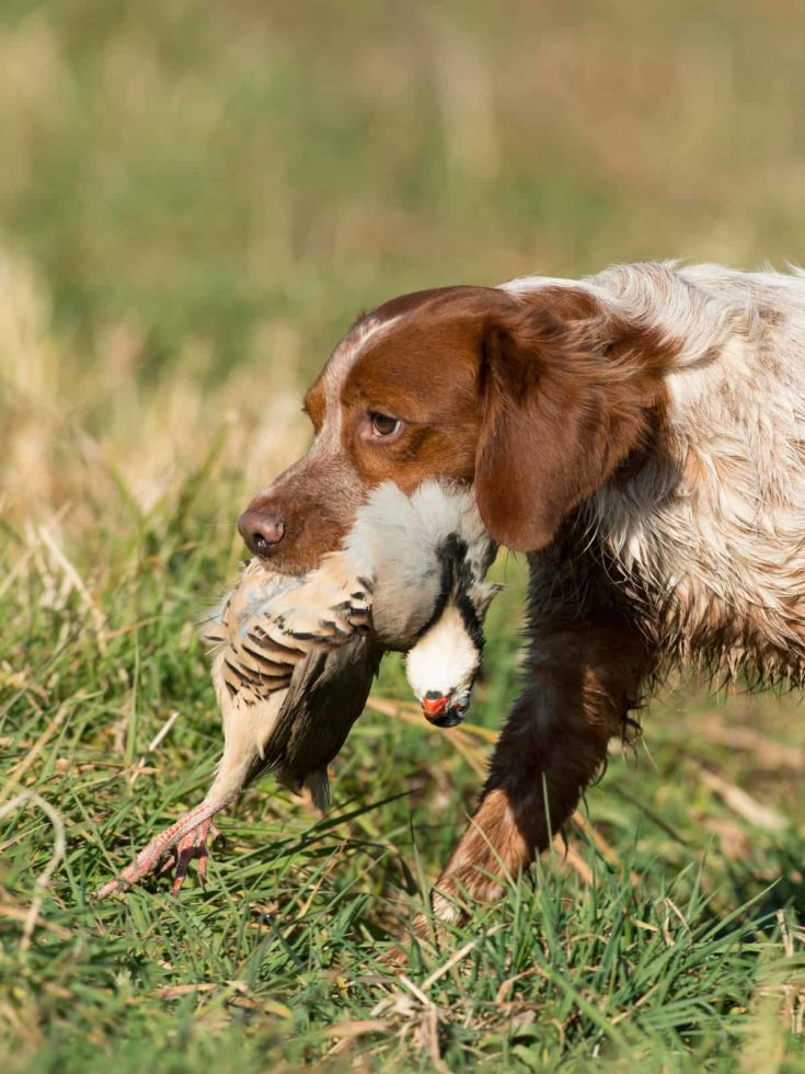 French Brittany Spaniel Hunting Dog with a Chukar partridge