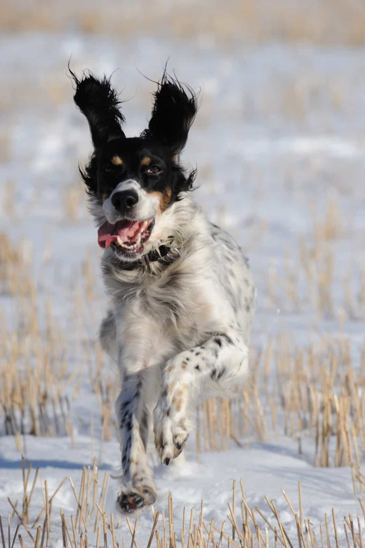 English setter hunting in the fields in winter