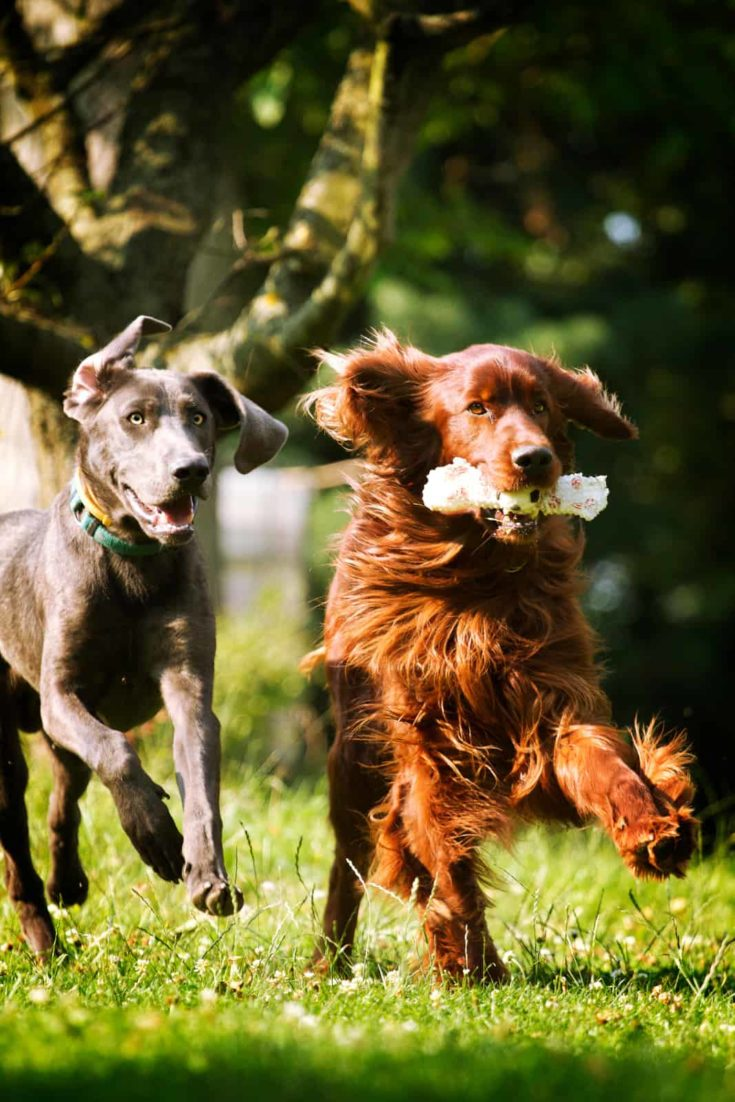 irish setter dog and weimaraner puppy running