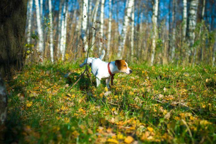 Jack russel Terrier in the woods
