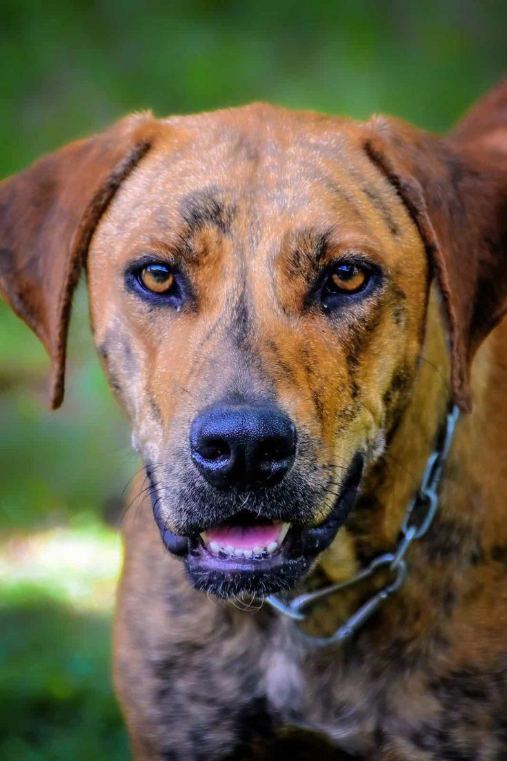 Plott Hound Dog Close-up