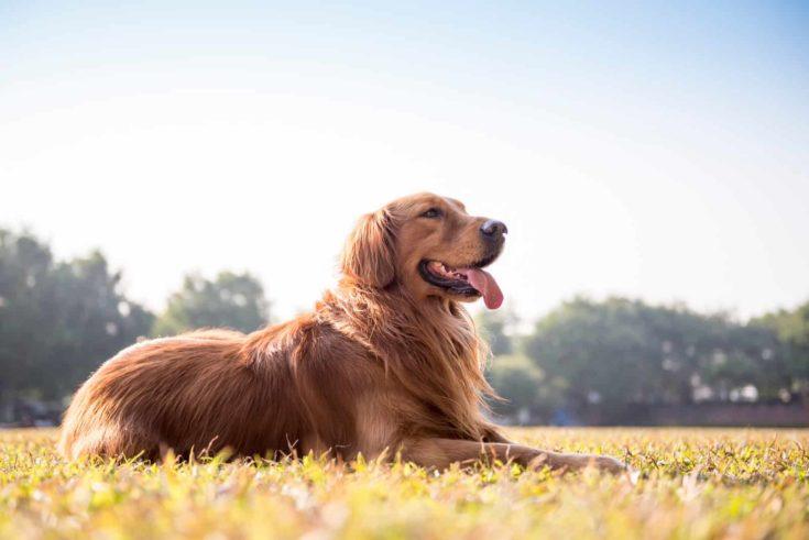 The golden retriever on the grass