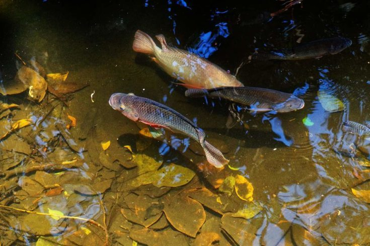 Fishes swimming in the pond